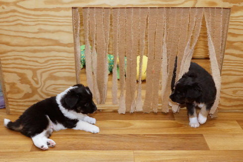 paws on heaven mini aussies. Black Bedroom Furniture Sets. Home Design Ideas